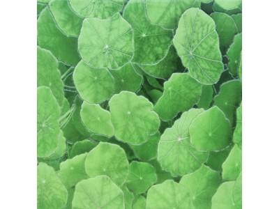 Lotus Estanque Viejo Verde 30 x 30